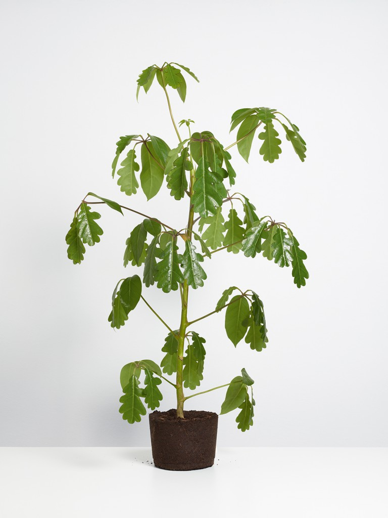 Kultivierte_Zierpflanze_IV_2012