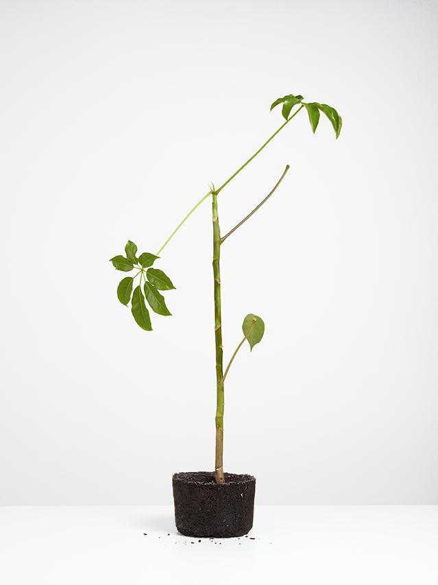 Kultivierte_Zierpflanze_V_2012